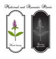 wood betony stachys officinalis medicinal plant vector image vector image