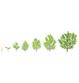 olive tree growth stages vector image vector image
