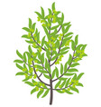 olive tree green olive fruit vector image vector image