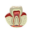 human tooth cross section realistic view vector image