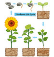Life cycle of sunflower plant vector image