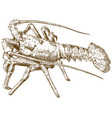 engraving drawing of rock lobster vector image vector image