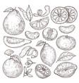 citrus fruits sketch hand drawn orange mandarin vector image vector image