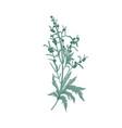 sagebrush flower isolated on white background vector image vector image