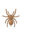 spider tarantula on white background top view vector image vector image