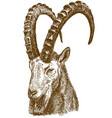 engraving drawing of siberian ibex vector image vector image