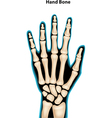 hand bone vector image