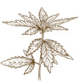 engraving of cannabis leaf vector image