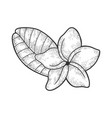 plumeria flower sketch vector image