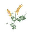 tufted or cow vetch flowers stems and leaves vector image
