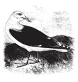 great black billed gull vintage vector image vector image