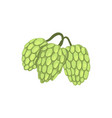 hops herb plant element for brewery products vector image