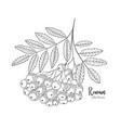hand drawn rowan bunch berries vintage botanical vector image