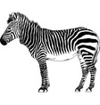 jumping striped african zebra hand-drawn vector image