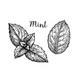 ink sketch of mint leaves vector image