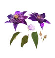 clematis purple flowers and leaves set vector image