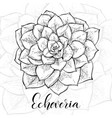 hand drawn echeveria cacti vector image