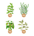 mint and thyme chile and sage dish ingrdients vector image