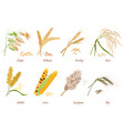 cereals stems flat cliparts vector image