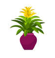guzmania house plant in flower pot vector image vector image