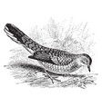 scaly ground dove vintage vector image vector image