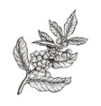 coffee tree with beans coffea vector image