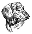 dachshund portrait hand drawing vector image