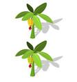 banana tree with banana fruit vector image
