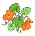 beautiful orange nasturtium flowers cartoon vector image vector image