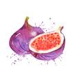 watercolor figs vector image vector image