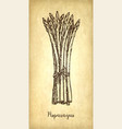 ink sketch of asparagus vector image vector image