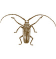 engraving drawing of longhorn beetles vector image