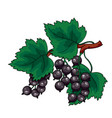 Big bush black currant with green leaves