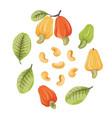 cashew vector image vector image