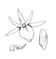orchid flowers sketch hand vector image
