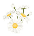 isolated daisy chamomile flower collection set vector image