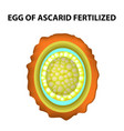 egg of the roundworm is fertilized ascaris eggs vector image vector image