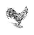 cock sketch hand drawn vector image vector image
