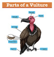 Diagram showing parts of vulture vector image vector image