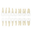 type tooth stomatology medical dentist realistic vector image vector image