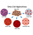 diagram different stem cells vector image vector image
