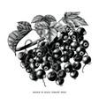 branch black currant botanical vintage vector image vector image