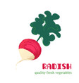 fresh radish isolated on white background vector image vector image