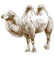 engraving drawing of camel vector image vector image