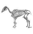 skeleton of a hog vintage vector image vector image