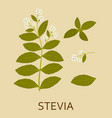 stevia plant with leaves and pods vector image vector image