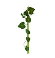 Branch with green leaves Grapevine Isolated vector image