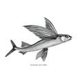 exocoetidae or flying fish hand drawing vintage vector image vector image