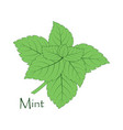 mint on the white vector image