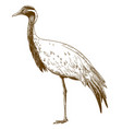 engraving drawing of demoiselle crane vector image vector image